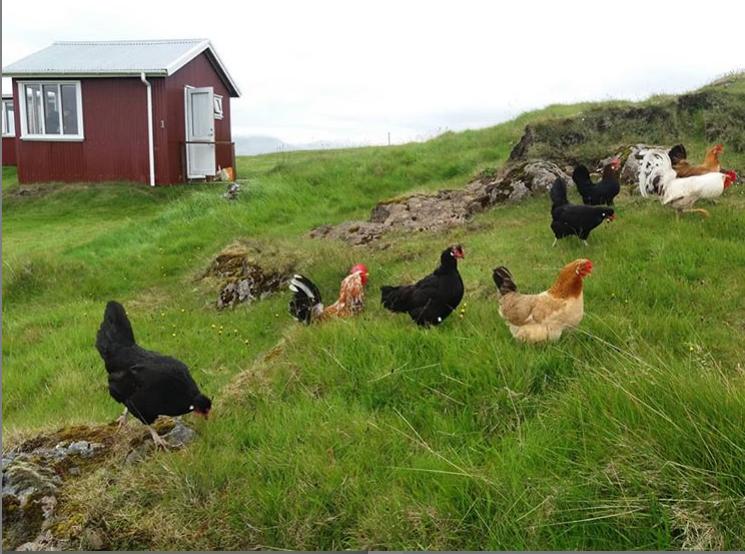 Lambhus 15m2 cabin chicken hænur