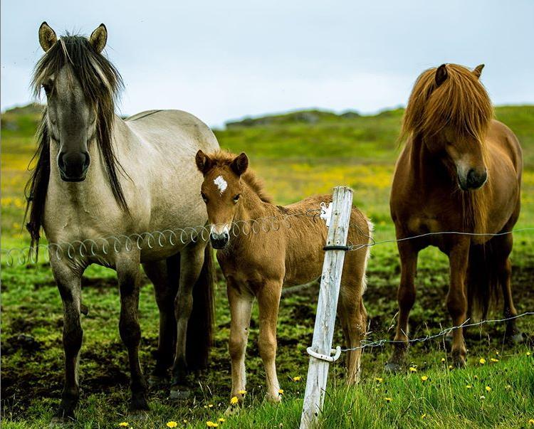 Lambhus Horses Hestar